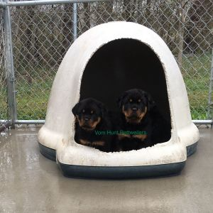 Rottweiler Breeder In Nc Rottweiler Puppies For Sale Vom Hunt