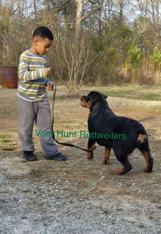 Rottweiler breeder in NC, Rottweiler Puppies For Sale, Vom Hunt