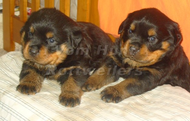 Rottweiler breeder in NC, Rottweiler Puppies For Sale, Vom Hunt